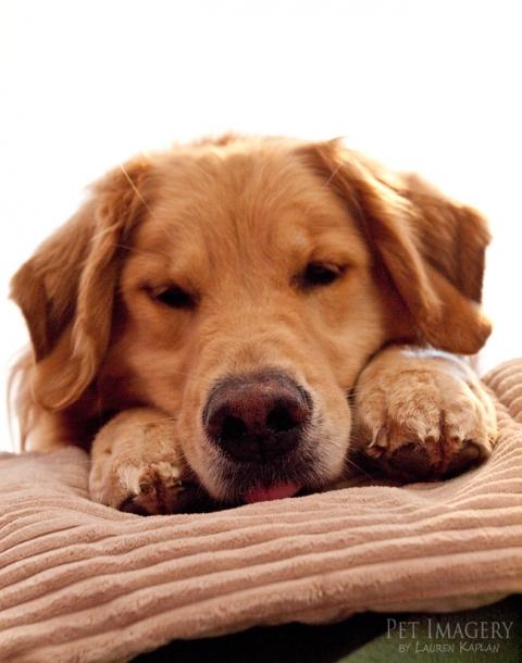 golden-retriever-bed-paws-newtown