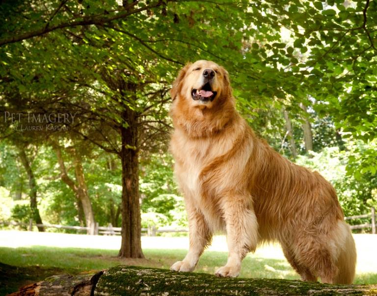 golden-retriever-pa-log-tree