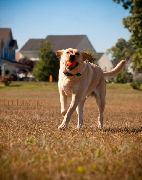 yellow labrador new jersey autumn
