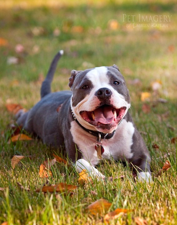 bluenose bulldog the gallery for gt blue pitbull mixed with english bulldog 625