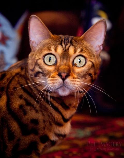 bengal cats philadelphia pa