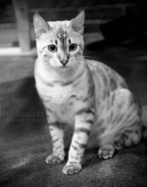 snow bengal cat philadelphia pa