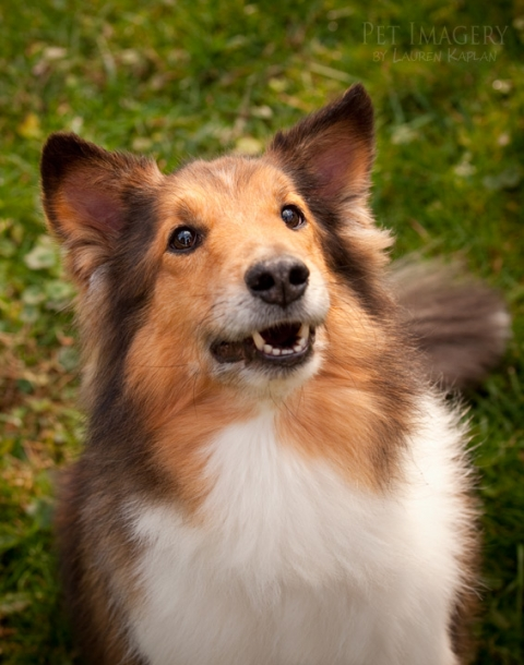 shephard husky mix sheltie horsham pa