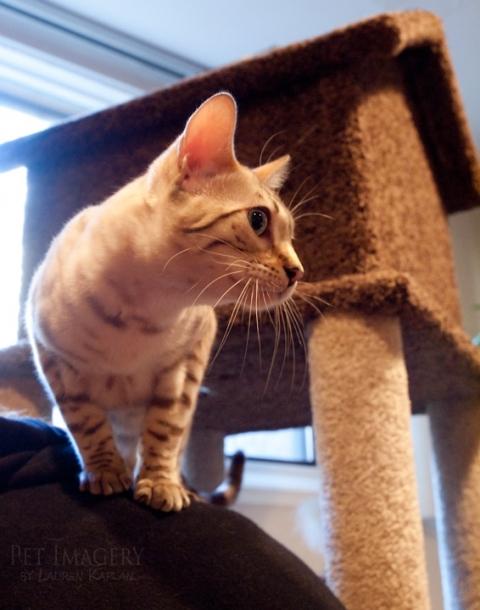 snow brown bengal cat philadelphia pa