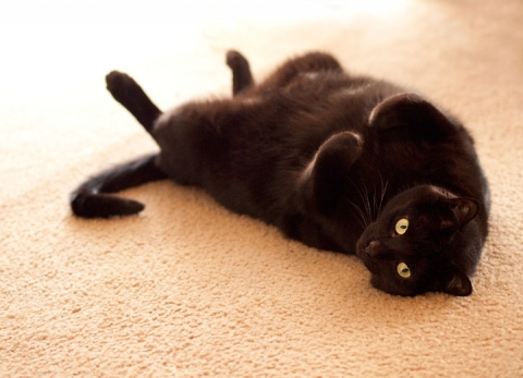 black cat philadelphia laying on back
