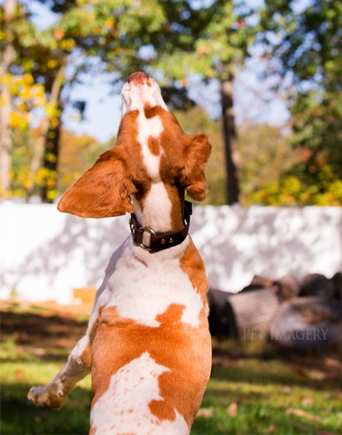 brittany spaniel, pet imagery, best pet photographer, new jersey