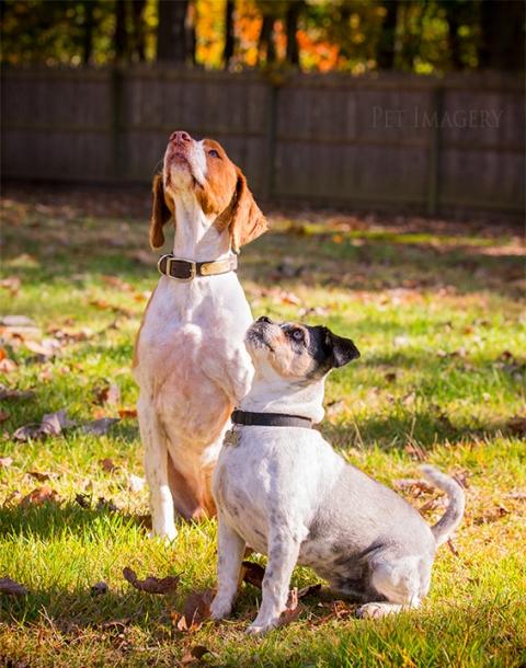 pekingese/terrier mix, pet imagery, best pet photographer, new jersey