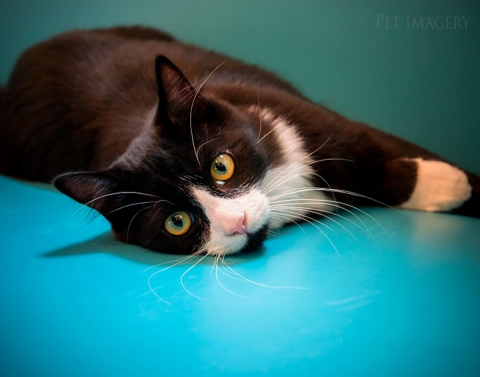 long hair short hair cats pet photography kaplan phila