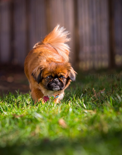 pekingese shih tzu mix best pet photograph kaplan philadelphia