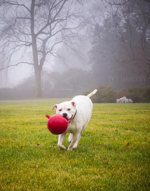 american bulldog best pet photography de kaplan