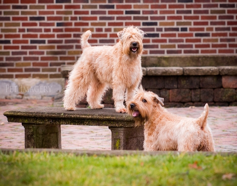 soft coated wheaten terrier best pet photography kaplan pa