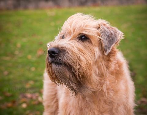 soft coated wheaten terrier best pet photography kaplan pa