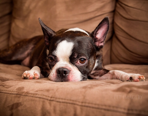 boston terrier bulldog nyc best pet photography kaplan