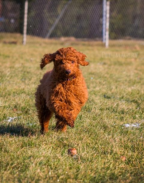 goldendoodle best pet photography kaplan pa