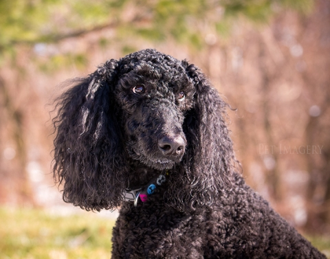 poodle, best pet photography, pa, kaplan, dog