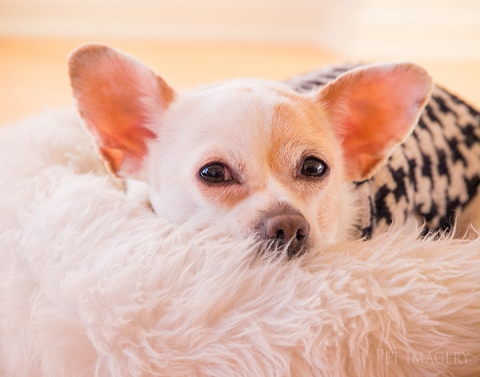 best pet photography pet imagery kaplan chihuahua pa