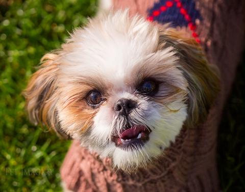 best pet photography shih tzu kaplan ny