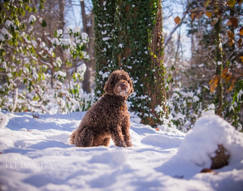 labradoodle pet photography kaplan pet imagery