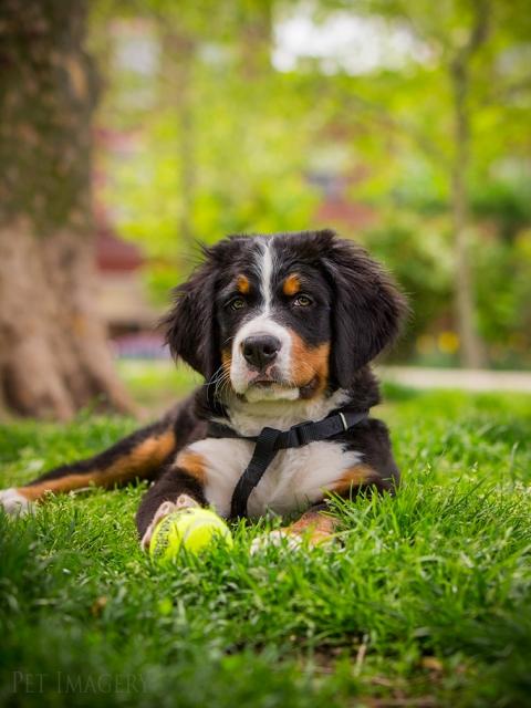 pet photography puppy kaplan pet imagery