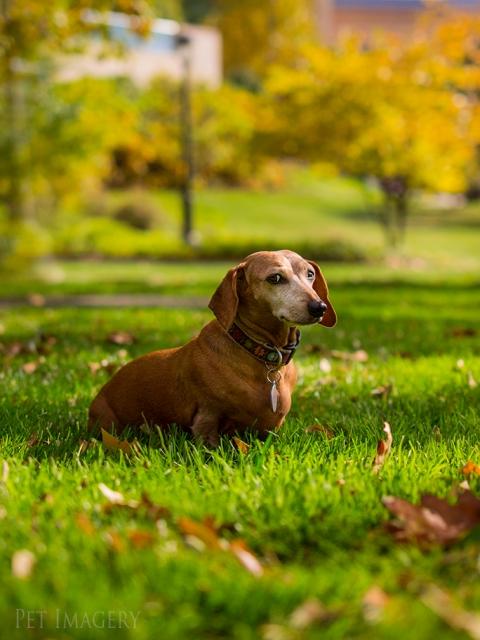 best pet photography dachshund kaplanbest pet photography dachshund kaplan