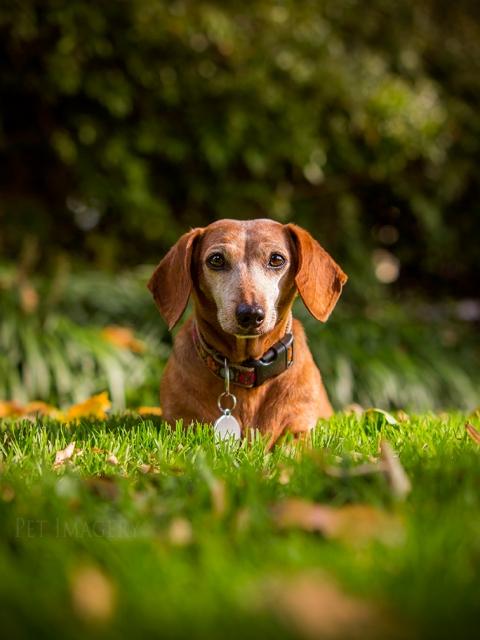 best pet photography dachshund kaplan